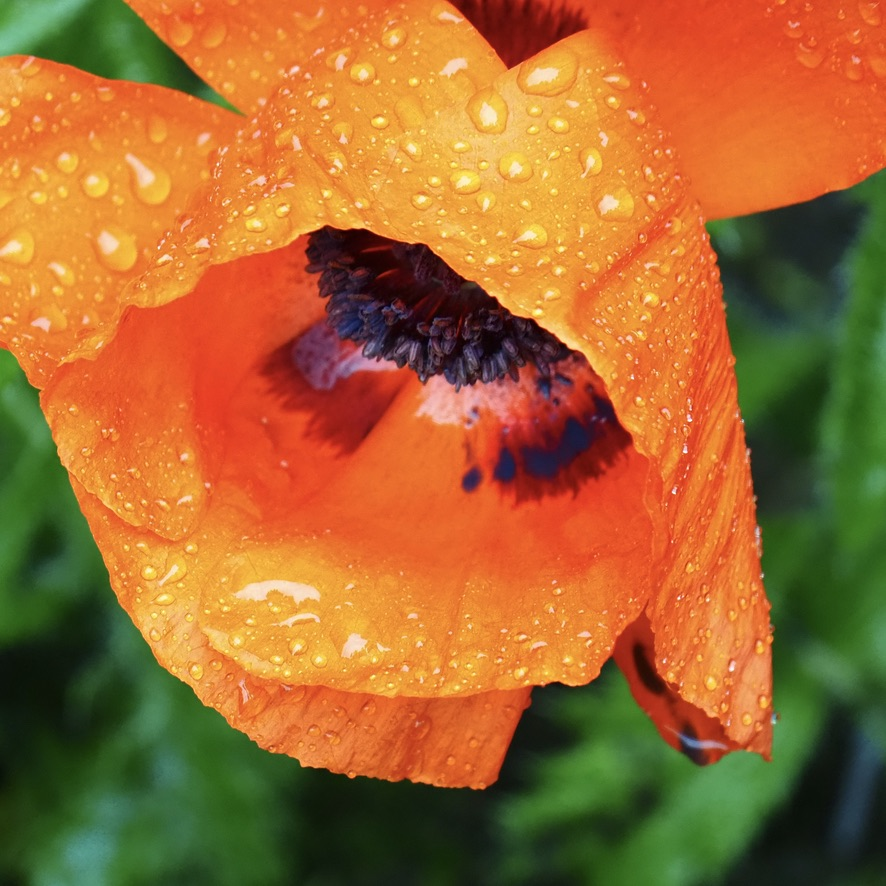 pavot, drops, poppy