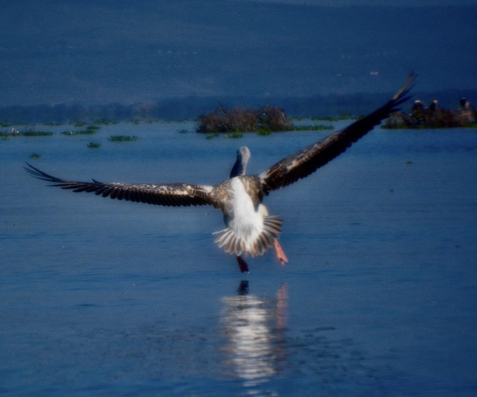 oiseau atterissant. landingnon water, photo