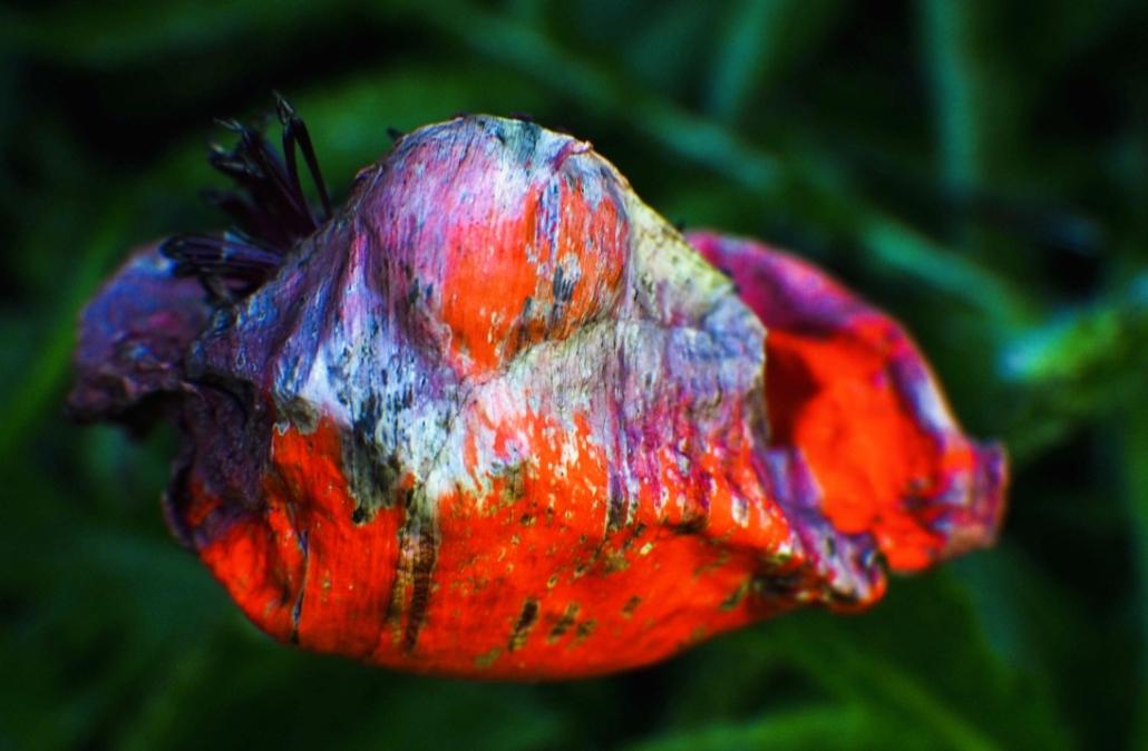 pavot eclosion hatching poppy