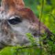 bébé giraffe qui mange. head of baby giraffe eating