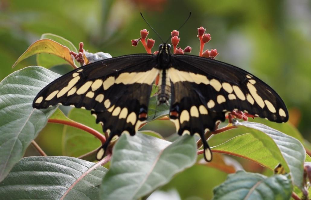 #papillon #butterfly