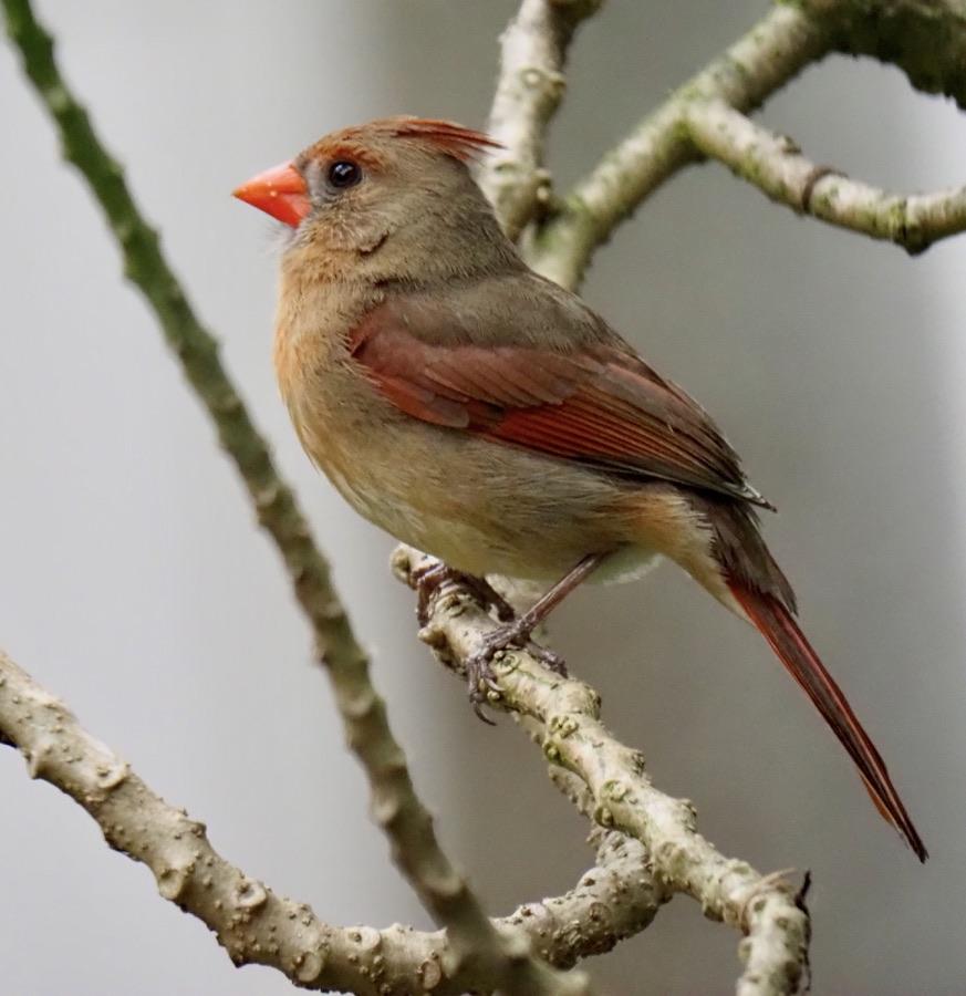 #Cardinal,# bird, #oiseau,