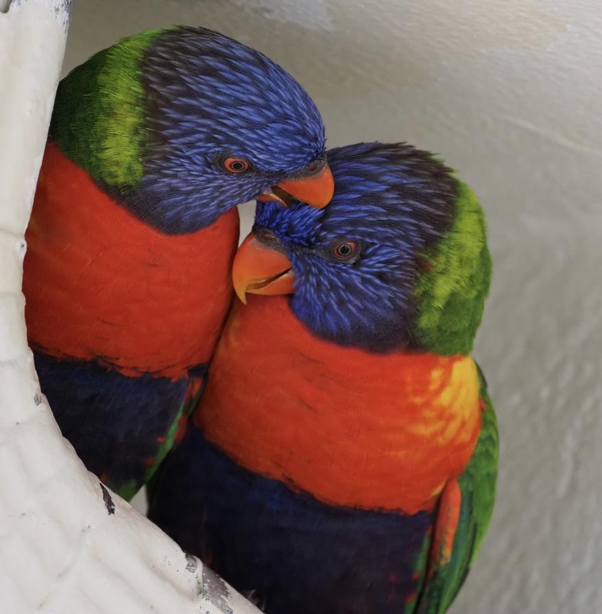 #perroquets #parrots